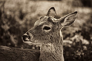 Douglas Barnard - Juvenile Deer Close-Up V3