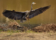 Paul Lyndon Phillips Photos - Juvenile Great Blue Heron gliding down - 9945h by Paul Lyndon Phillips
