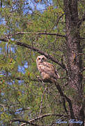 Complimentary Colours Earth Tones Posters - Juvenile Great Horned Owl Poster by Laura Bentley