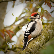 Walnut Tree Photograph Posters - Juvenile Greater Spotted Woodpecker Poster by Izzy Standbridge
