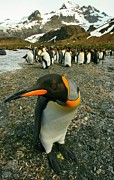 Kp Framed Prints - Juvenile King Penguin Framed Print by Amanda Stadther