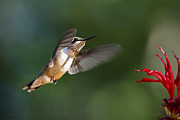 Juvenile Wall Decor Prints - Juvenile Male Ruby-Throated Hummingbird Print by Christina Rollo