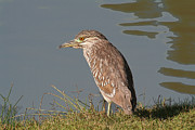 Bob and Jan Shriner - Juvenile Night Heron