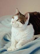 K C  Kitty Cat Print by Barbara Groff