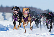 Husky Photo Prints - K9 Athletes Print by Mircea Costina Photography