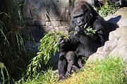 Wingsdomain Art and Photography - Kabibe The Baby Gorilla 5D27088