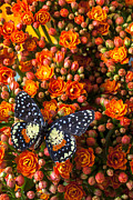Insects Posters - Kalanchoe plant with speckled butterfly Poster by Garry Gay