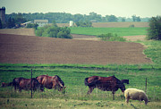 Iowa Prints - Kalona Horses and Sheep Print by Cassie Peters