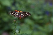 Charles Warren - Kanapaha Butterfly I