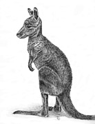 Kangaroo Drawings - Kanga by Denise Wood