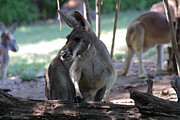 Kangaroo-2 Print by Gary Gingrich Galleries
