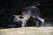 Wingsdomain Art and Photography - Kangaroo 5D27168