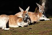 Wingsdomain Art and Photography - Kangaroo 5D27177