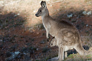 Kangaroo And Joey Print by Steven Ralser