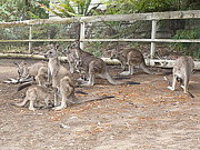 Kangaroo Digital Art Metal Prints - Kangaroo Family Metal Print by Laszlo Slezak