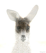 Ears Digital Art Metal Prints - Kangaroo Metal Print by Holly Kempe