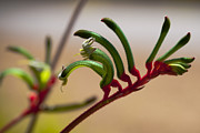 Kangaroo Digital Art Metal Prints - Kangaroo Paw Metal Print by Serene Maisey