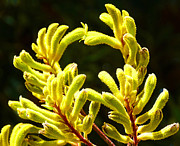 Kangaroo Paw Yellow Print by Margaret Saheed
