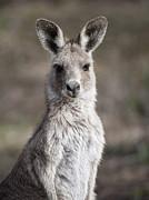 Steven Ralser - kangaroo