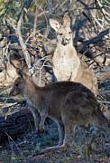 Steven Ralser - kangaroos