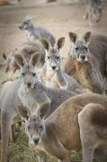 Eye Contact Photo Framed Prints - Kangaroos Waga Waga Australia Framed Print by Jim Julien