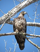 Rebecca Overton - Kansas Young Bald Eagle