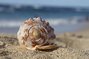 Seashell Art Photo Prints - Kapukaulua Print by Sharon Mau