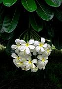 Tropical Islands Digital Art - Kawela Plumeria by James Temple