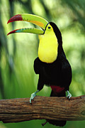 Toucan Metal Prints - Keel-billed Toucan  Metal Print by Gerry Ellis
