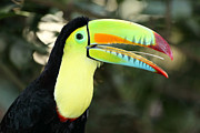James Brunker Prints - Keel billed toucan Print by James Brunker