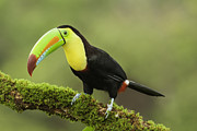 Juan Carlos Vindas - Keel billed Toucan...