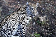 Leopard Hunting Prints - Keep Your Eye on the Prize  Print by Debra Langaigne