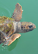 Green Pyrography Prints - Kefalonia Sea Turtle 2 Print by Karl Wilson