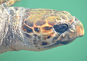 Green Pyrography Framed Prints - Kefalonia Sea Turtle 3 Framed Print by Karl Wilson