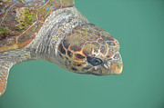 Green Pyrography Prints - Kefalonia Sea Turtle  Print by Karl Wilson