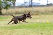 Kelpie Photo Posters - Kelpie Chasing a Ball Poster by Christopher Edmunds