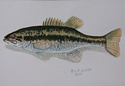 Larger Paintings - Kentucky Bass by Richard Goohs