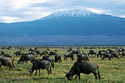 No People Posters - Kenya Mount Kilimanjaro Wildebeests Grazing Poster by Anonymous