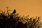 Martial Eagle Posters - Kenyan Sunrise Poster by Ashley Vincent