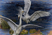 Snowy Egret Originals - Kerfuffle by Barbara Bowen