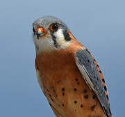Frank Larkin - Kestral close up