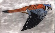 Falcon Drawings Metal Prints - Kestrel Metal Print by Don  Gallacher