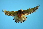 Bev  Brown - Kestrel Hovering
