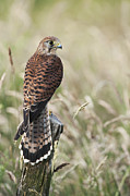 Perched Photos - Kestrel by Tim Gainey