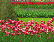 Keukenhof Gardens Framed Prints - Keukenhof Gardens 91 Framed Print by Mike Nellums