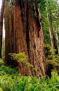 Huge Trees Posters - Kevin and the Big Tree - Redwood National Forest Poster by Michelle Calkins