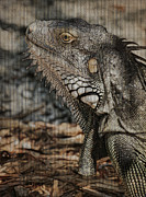 Iguana Metal Prints - Keys Iguana Metal Print by Deborah Benoit