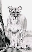 Lion Drawings Acrylic Prints - Kibibi Acrylic Print by George Horsey