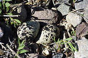 Killdeer Prints - Kildeer Nest Print by Eric Rundle