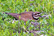 Killdeer Photos - Killdeer 1 Maternal Instinct by Gary Holmes